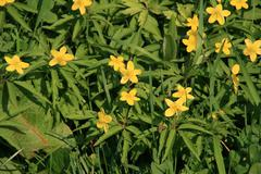 Small Yellow Flowers In The Grass, Nature, Garden, Park, Close Up - stock photo