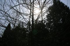 Sun Glare Behind Some Winter Striped Trees - stock photo