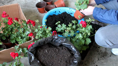 Man transplanted flowers in flowerpot Stock Footage