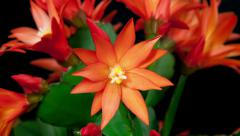 Red easter cactus flower opening and closing timelapse Stock Footage
