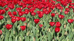 Red tulip in breeze Stock Footage