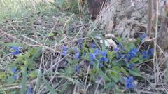 Viola odorata spring flowers Stock Footage