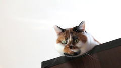 Close up of a curious calico cat head isolated on white Stock Footage