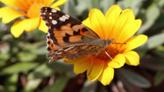 butterfly on a yellow flower - stock footage