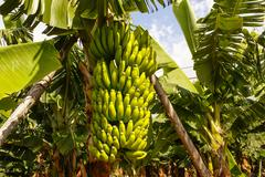 bananas growing, puerto de la cruz, tenerife, canary islands, spain. - stock photo