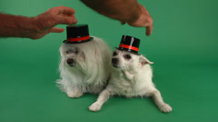 Hats On Dogs Heads Funny Time Lapse Stock Footage
