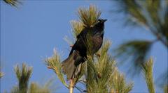 Blackbird flying slow motion Stock Footage