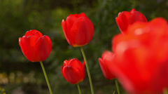 Red tulip flowers in the garden Stock Footage