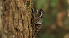 Cicada calling / singing on tree Stock Footage
