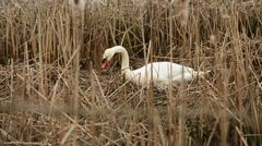 Swan in Bulrushes, Nest Building Stock Footage