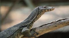 Monitor lizard or Varanus on tree Stock Footage