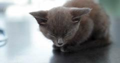 Little grey kitten sitting on the vets table Stock Footage