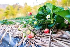 Strawberry farm organic Stock Photos