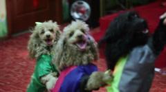 Circus dog - stock footage