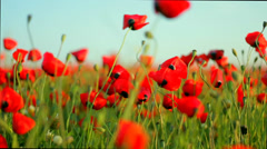 Stock Video Footage of poppy field at sunset. poppies bloom_close up