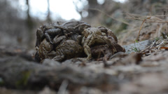 Toads (Bufo bufo) are coupling in the wood Stock Footage