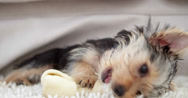 Stock Video Footage of Cute yorkshire terrier puppy chewing on a bone