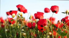 Poppy field at sunset. poppies bloom Stock Footage