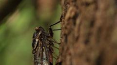 Cicada feeding Stock Footage