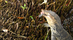 Water Monitor Waran Varanus Salvator Water Lizard caught a fish in river Stock Footage