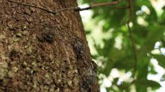 Cicada calling / singing on tree Stock Footage