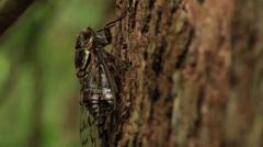 Cicada feeding on tree Stock Footage