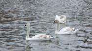 Stock Video Footage of 3 swans and a duck