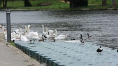Feeding swans Stock Footage
