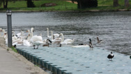 Stock Video Footage of feeding swans