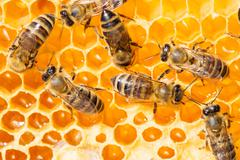 Macro of working bee on honeycells. Stock Photos