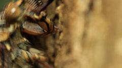 Cicada Feeding tree (close up) Stock Footage