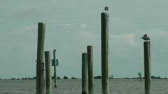 Cape Fear birds on posts Stock Footage