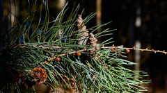 Cone pine branch in backwoods - stock footage