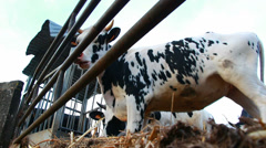 Very low angle Holstein Friesians cows Stock Footage
