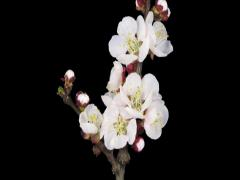 Time-lapse of blooming apricot branch 1b3 (DCI-2K) Stock Footage