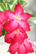 red adenium flower. - stock photo