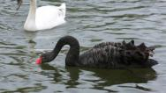 Stock Video Footage of english black swan