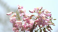 Bee Collects Nectar On pink Flower - stock footage