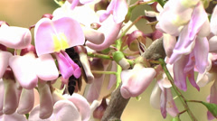 Stock Video Footage of Bee Collects Nectar