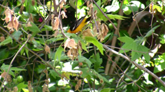 Colorful Hooded Oriole foraging in the trees Stock Footage