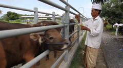 Balinese Hindu Priest and cows - stock footage