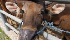 Cows in Bali waiting in line at slaughterhouse Stock Footage