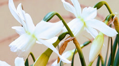 White blossom of  flowers Narcissus Stock Footage