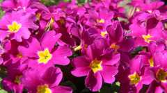 Primrose (Primula acaulis) Stock Footage