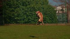 Dog running and jumping after a ball Stock Footage