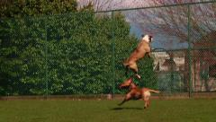 Dog running and jumping after a ball - stock footage