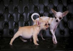 Lovely playing  acting of french bulldog and chihuahua dogs on blackish leath Stock Photos
