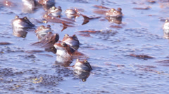 Frogs mating season spring Stock Footage