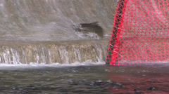 Thousands of salmon jumping and swimming at Bowmanville fish ladder in Autumn Stock Footage