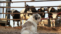 Cows look at Shih-Tzu dog, Normandy Stock Footage